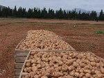 Elektronisch exportcertificaat voor pootaardappelen