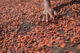 Cocoa beans drying in sun 80x53